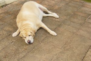 The Obese Dog That Saved My Life